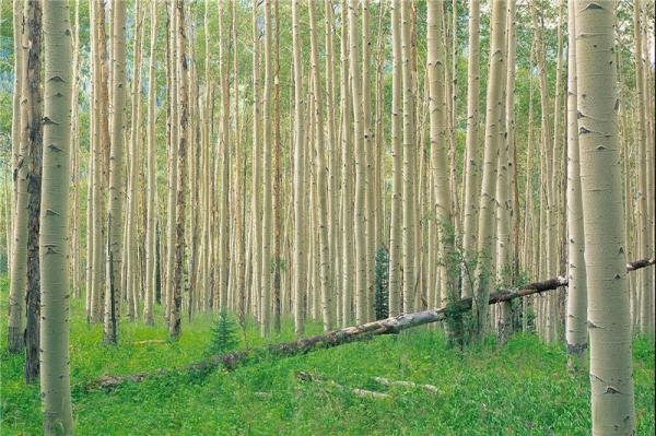 خبرنگاران 100 هزار هکتار زراعت چوب در ناحیه رویشی زاگرس طی 6 سال
