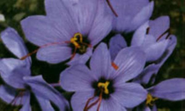زعفران، گیاهی با ارزش غذایی، دارویی، آرایشی و بهداشتی